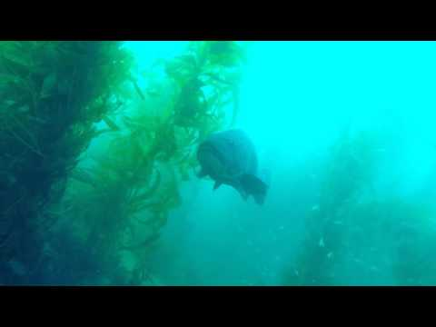 Diving Catalina Kelp Forest with gaint black sea bass