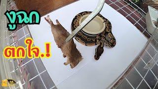 ฉก..! ซะตกใจ..!  ให้อาหารงูบอล ใจไม่ถึงห้ามดู.. feeding ball python.