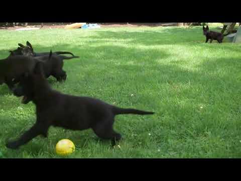 German Shepherd Puppies For Sale Samuel Fisher