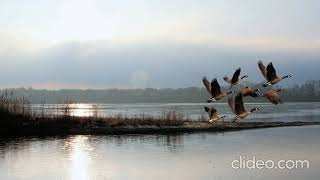Звук, где стая гусей взлетают с озера.The sound of a flock of geese taking off from the lake.