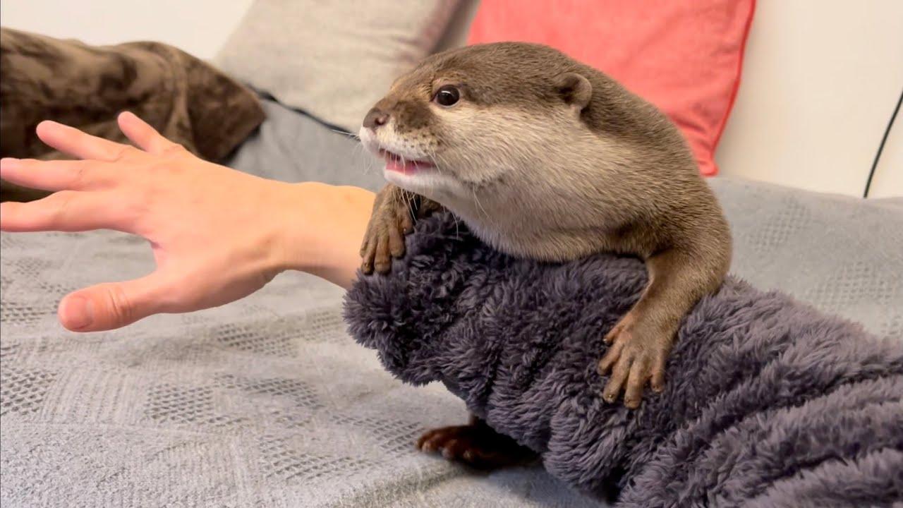 カワウソさくら 飼い主の体のどこかを絶対に触るルールを持つカワウソ otter who has to touch a part of the owner's body