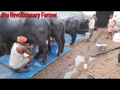 👍FULL Milking Video -Recorded @ Monvir Sir farm.@Rohtak Haryana👍
