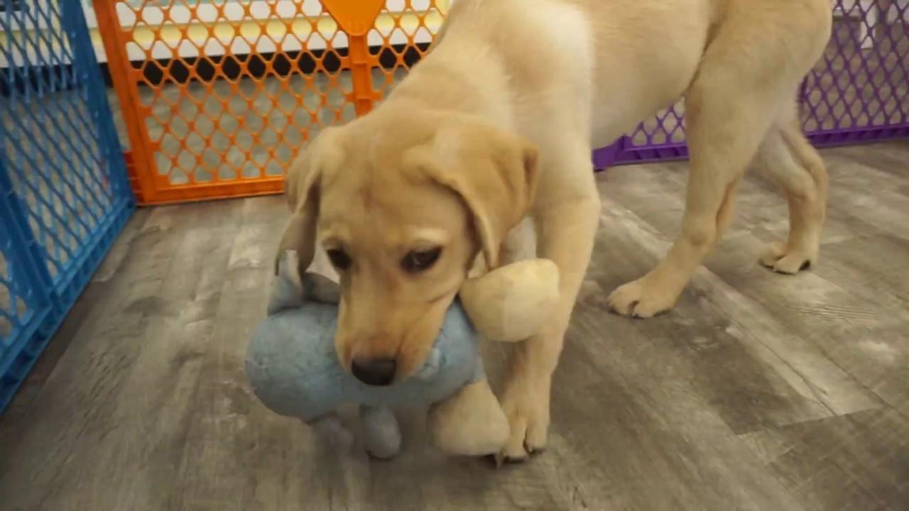 Visit Our Labrador Retriever Puppies for Sale near Miami