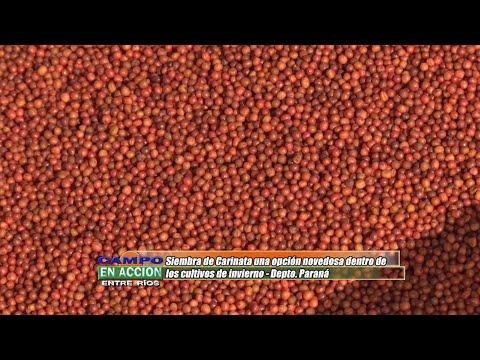 Héctor Tortul - Grupo Bolzan - CARINATA, una opción novedosa dentro de los cultivos de invierno