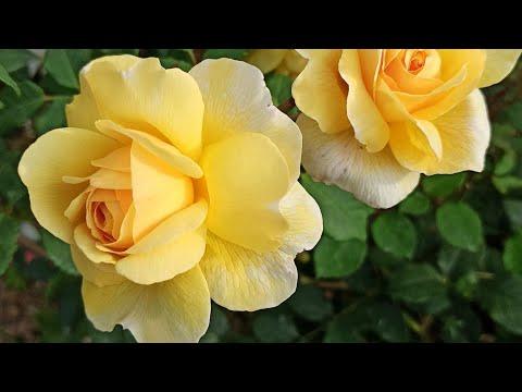 Розы Остина. Сорта, которые имеют средний размер куста.