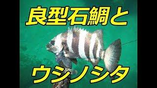新潟遠征第二段。 逃げない石鯛とウシノシタ(舌平目)が獲れました。石...