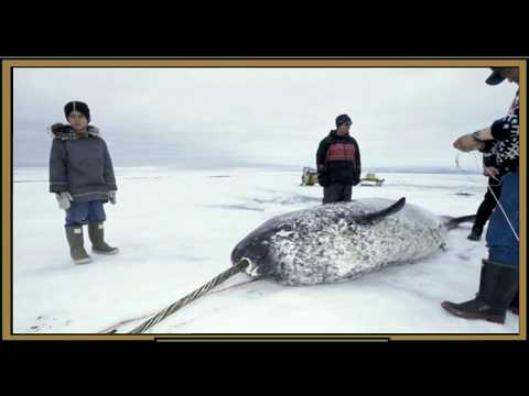 Narwals History (Narwhal Facts)