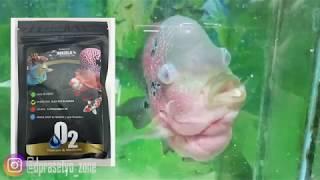 JANGAN LUPA SUBSCRIBE : http://bit.ly/2Oa08L0 Mata ikan, atau biasa dikenal dengan nama clavus, adal.