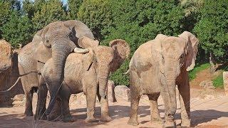 El elefante macho Kibo y las hembras Metzi y Miri