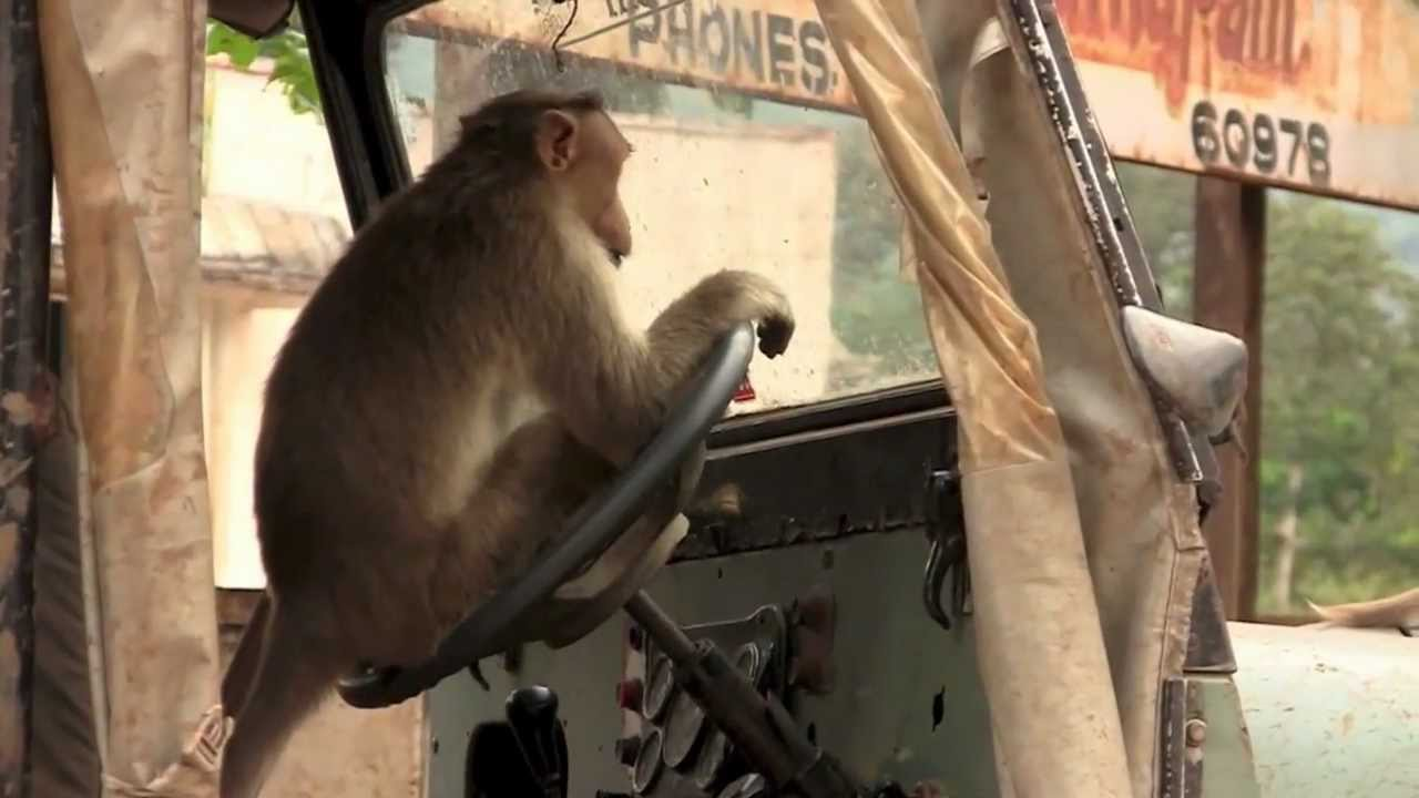 monkey driving bus in india video