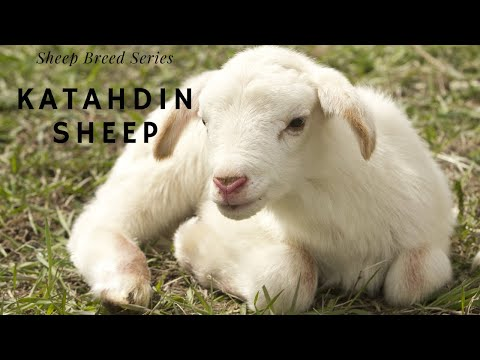 Sheep Breed Series: Katahdin Sheep