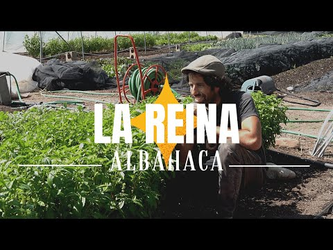 Cultivando ALBAHACA  