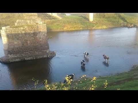 Доброе утро!Коровы в речку залезли!Идем на пастбище!