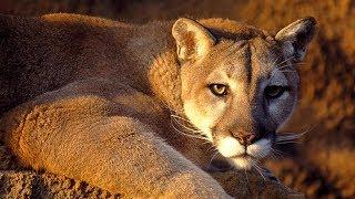 Карточки Домана. Животные. Пума, ягуарунди, кошка-рыболов, бенгальская кошка