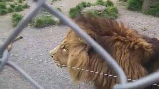 Download Video Lion fight at Paradise valley MP3 3GP MP4