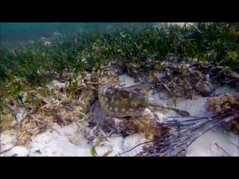 Florida Keys Stingray