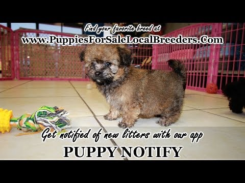 Havachon Puppies For Sale Georgia Local Breeders Near Atlanta Ga