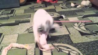 Сфинкс и Тайка)Смешные котятки)