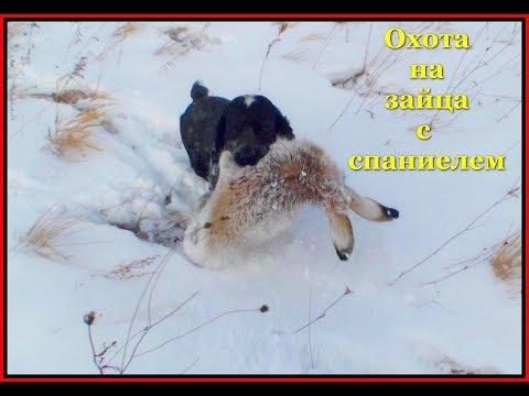 Охота на зайца с спаниелем 21 11 18