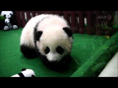 Un 2e bébé panda né au zoo de Kuala Lumpur présenté au public