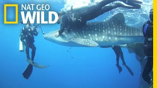 See Divers Rescue Four Car-Sized Sharks | Nat Geo Wild