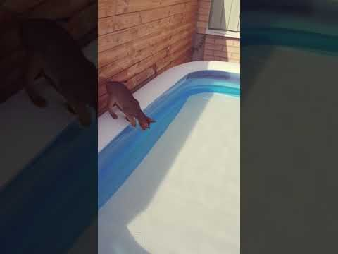 Abyssinian takes his first swim