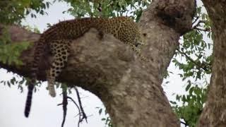 Leopard at Mikumi National park Tanzania
