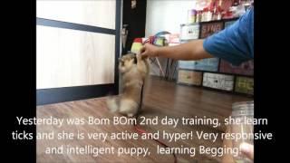 Dog training Singapore - Bom Bom the 3 months Pomeranian.