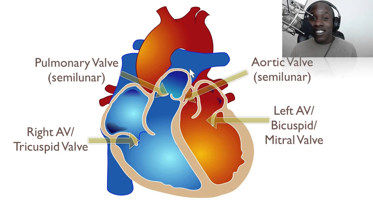 The Anatomy Of The Heart Youtube