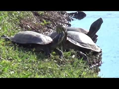 USA КИНО 1032. Луизиана. Экскурсия по микрозаповеднику Bluebonnet Swamp Nature Center