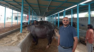 Shed For 100 Animals | 0300-6126478 Best And Low Rate Shed Design Details | Shed For Buffaloes