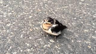 飛行訓練途中のツバメの雛鳥が地面に下りていました。人が近づいても全...