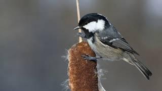 Голоса птиц Как поёт Московка Periparus ater
