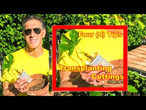 4 Tips For Transplanting (FIG) Cuttings  | Potting Soil  | AntiTranspirant  | Fertilizer  | Pot Size