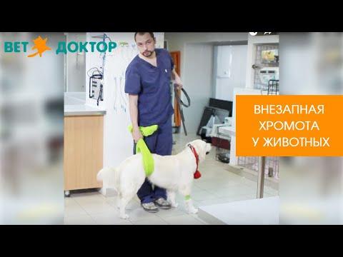 Почему у собаки болит задняя нога