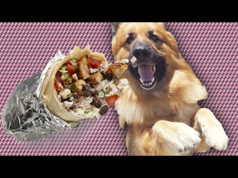 German Shepherd Eats Chipotle ...