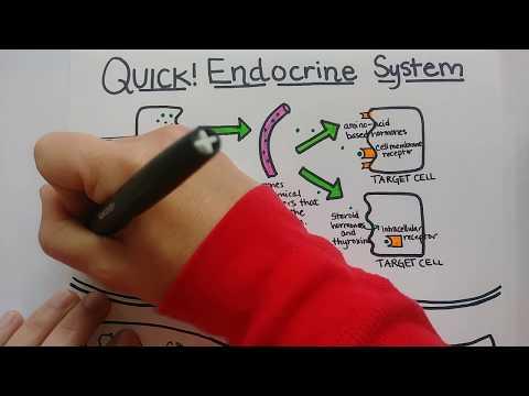 Endocrine System   Summary