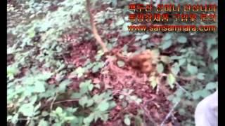 산삼나라 백두산에서 천종야생산삼 채취장면(장뇌산삼,장뇌…