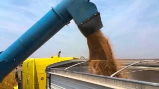 Kinze grain cart 1300 at work