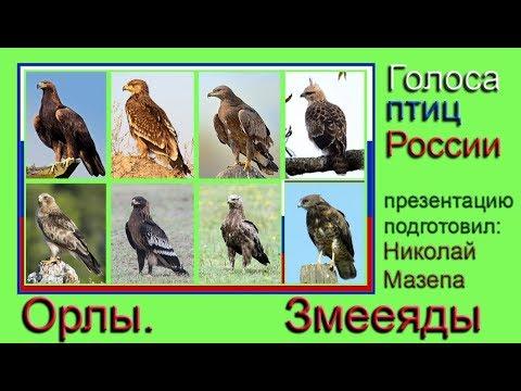 Орлы. Змееяды. Голоса птиц России