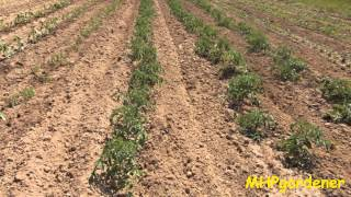 Planting Tomatoes, Down Deep or in a Trench, Which Way is Best?