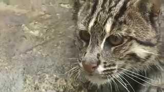 видео Виверровый кот-рыболов