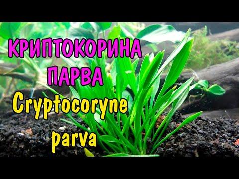 КРИПТОКОРИНА ПАРВА ( Cryptocoryne parva )