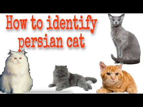 How to identify types of persian cat/kitten |how to find your cat breed|persiancat breed information