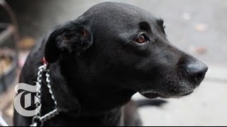 The Canine Bucket Brigade: Midnight the Dog a Hero After Hurricane Sandy