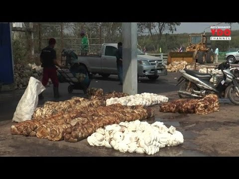 ชาวสวนยางบุรีรัมย์จี้ตรวจสอบวิธีหักค่าความชื้น แฉไม่มีมาตรฐานแค่ใช้มือจับดูเท่านั้น