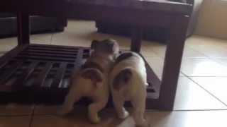 English Bulldog Puppies In Kissimmee Florida.