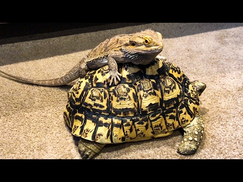 BEARDED DRAGON & TORTOISE = EPICNESS!!!
