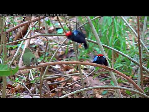 Long Series of Displays for Tawny-capped Female, April 5, 2018 - Lance-tailed Manakin Cam - 동영상
