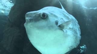 Ocean sunfish (Mola mola) at Two Oceans Aquarium